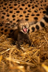 One of two cheetah cubs recently born at the Columbus Zoo and Aquarium. The cubs were born through in vitro fertilization and embryo transfer into a surrogate mother. [Grahm S. Jones/Columbus Zoo and Aquarium]