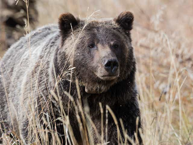 Fact Check Story Of Huge Man Eating Alaskan Grizzly Bear Is Tall Tale