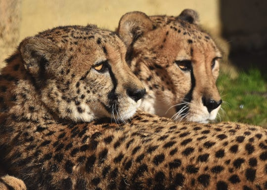Cheetahs named Bear and Bo, at Six Flags Great Adventure in Jackson.