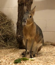 Amelia, a Patagonian Cavy, at Six Flags Great Adventure in Jackson.