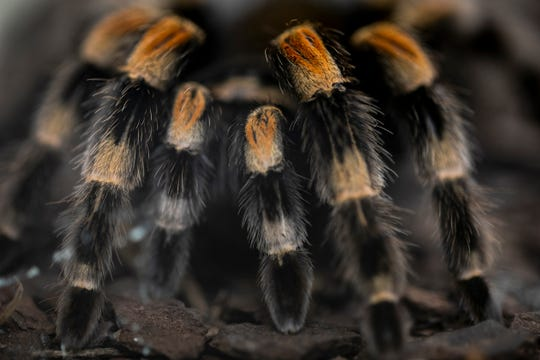 A 22-year-old Mexican redknee female tarantula makes its home in the World of the Insect at the Cincinnati Zoo & Botanical Garden. The exhibit was built in 1978 and was the first one devoted solely to insects in the United States.