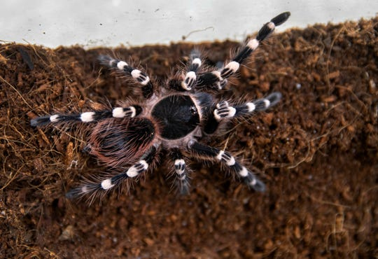 Eros, a Brazilian whiteknee tarantula, is nearly 2 years old and living a life free of predators in the Cincinnati Zoo and Botanical Garden. The spiderling is among eight that the zoo cares for after they were rescued in Seattle, victims of the illegal wildlife trade.