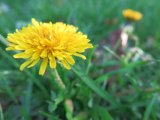 : Don't disparage dandelions. Their bright yellow flowers sparkle like sunshine and offer both pollen and nectar for bees and butterflies.