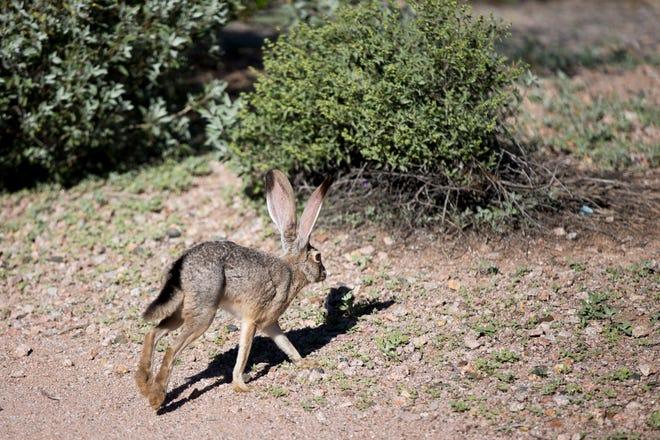 A jackrabbit runs through the Veterans Oasis Park in Chandler on Feb. 25, 2020.