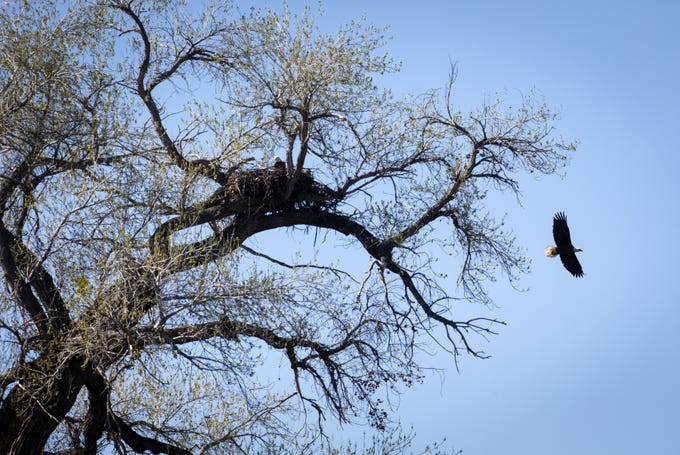 The male eagle (left) sits on the nest as the female eagle (right) flies off to hunt, February 25, 2020, at the Box Bar Recreation Area near Rio Verde. The pair take turns sitting on the eggs and never leave the nest unattended.