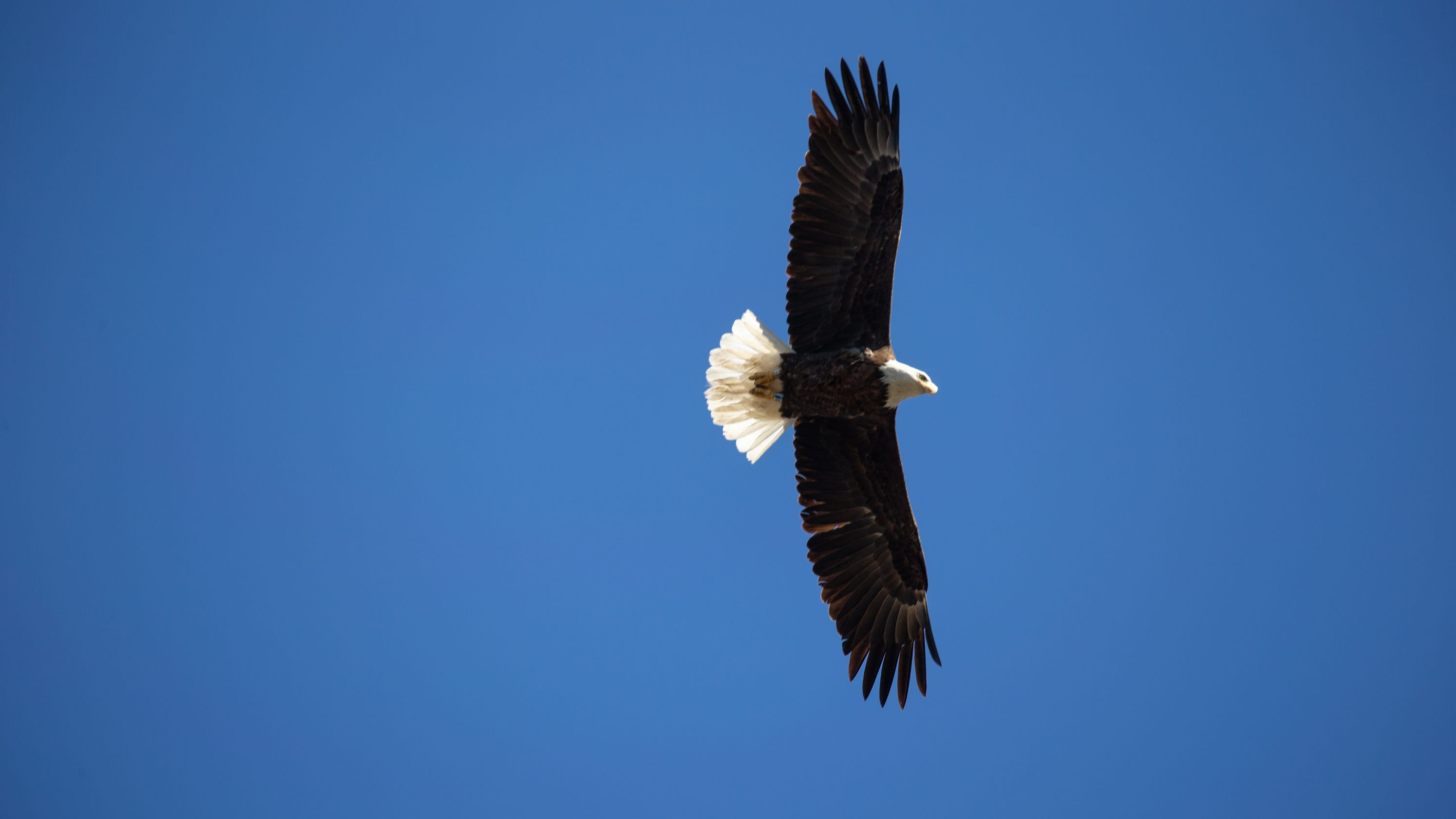 These bald eagle nestwatchers help an imperiled species soar again over Arizona