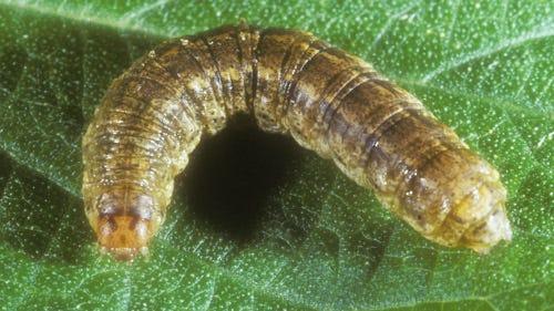 Larva of the granulate cutworm (Feltia subterranea).