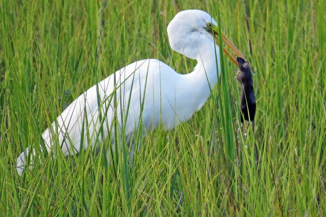 This Great Egret captured and swallowed a black rat.