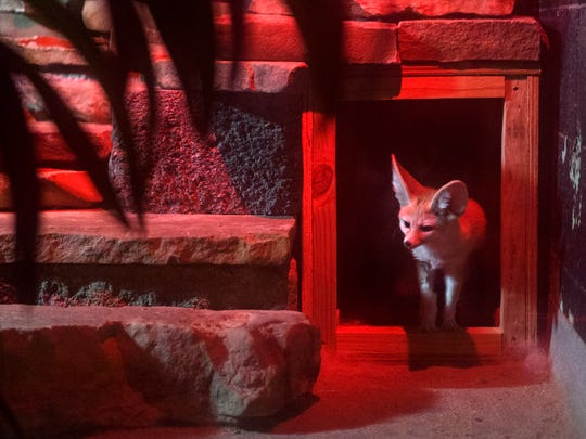 Cleo, the five-year-old Fennec fox, pokes her head out of her den as she hears Zookeeper Bryan Pils prepare to enter her enclosure with food inside the Kley Memorial building at Mesker Park Zoo in Evansville, Ind., Thursday morning, Feb. 27, 2020.