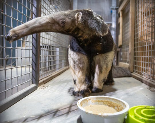 Giant anteater Tiana slurps up some food at Zoo Knoxville. The 18-year-old  female came to Zoo Knoxville on loan from the Nashville Zoo.