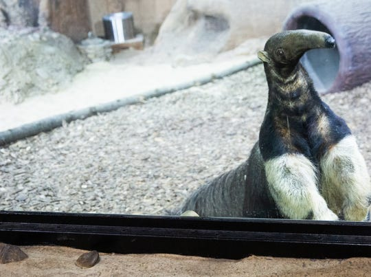 Tiana is the first giant anteater at Zoo Knoxville. The 18-year-old female came to Zoo Knoxville on loan from the Nashville Zoo.