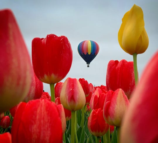 A hot air balloon rises above the tulip fields as acres of flowers bloom during the Wooden Shoe Tulip Fest near Woodburn April 21, 2019.