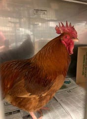 Do you know this rooster?