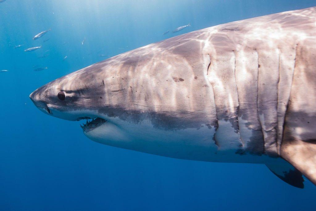 Great White Shark Spotted Near Ocean City