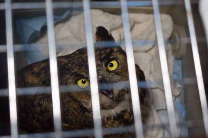 A great horned owl that was rescued in November after a wildfire peers through the bars of his carrier. He was released into the wild on Wednesday.