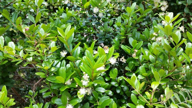 An eight-week Florida-Friendly Gardening series will teach about native plants like this Simpson's Stopper shrub.