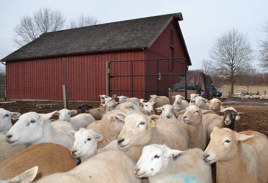 Fifty-three Katahdin ewes live on the Scully-Peretsman Farm which has been preserved in Bedminster.