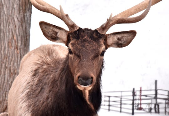 Elk are about three to four times the size of deer. A large adult male weighs 600 to 800 pounds; an adult female ranges from 300 to 450 pounds.
