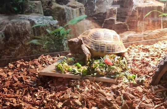Sputnik, a Russian Tortoise, was stolen from the Cool Creek Nature Center.