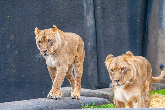 Seven-year-old lionesses Amali and Sunny arrived at the Louisville Zoo in January from the Milwaukee County Zoo in Milwaukee, Wisconsin.