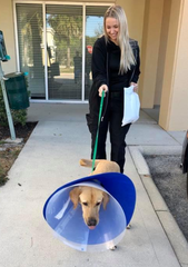 K-9 Phi, of the  Pasco Sheriff's Office, is released from BluePearl Specialty and Emergency Pet Hospital in Naples with his handler Heidi Sievers on Feb. 28, 2020