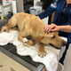 K-9 Phi, of the Pasco Sheriff's Office, is expected to recover from a venomous snake bite he suffered while searching for a missing child in the Everglades. The K-9 was treated then released from BluePearl Specialty and Emergency Pet Hospital in Naples on Feb. 28, 2020.