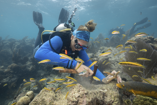 A diver prepares a site for staghorn coral replanting by removing nuisance algae.