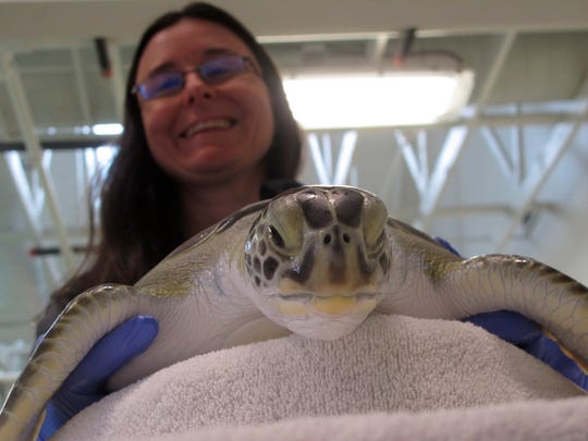 """In this Feb. 27, 2020 photo, Brandi Biehl, co-director of the Sea Turtle Recovery hospital inside the Turtle Back Zoo in West Orange, N.J. examines a sea turtle. Eleven of the dozen turtles being treated there survived being """"cold-stunned"""" last November when temperatures abruptly plunged, shutting down their internal organs. But the animals still suffer from pneumonia, which remains a threat to their survival. (AP Photo/Wayne Parry)"""