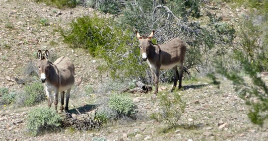 Wild burros are often seen foraging on the hillsides around Lake Pleasant.