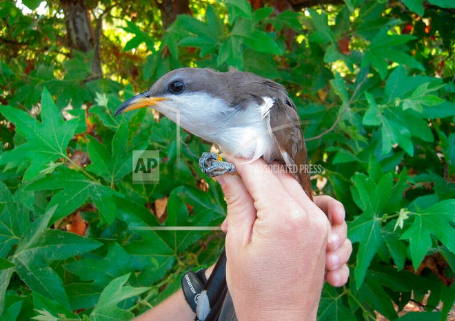 This undated image provided by the U.S. Fish and Wildlife Service shows a western yellow-billed cuckoo. The agency on Feb. 27, 2020, recommended designating hundreds of square miles in seven western states as critical habitat for the threatened species.