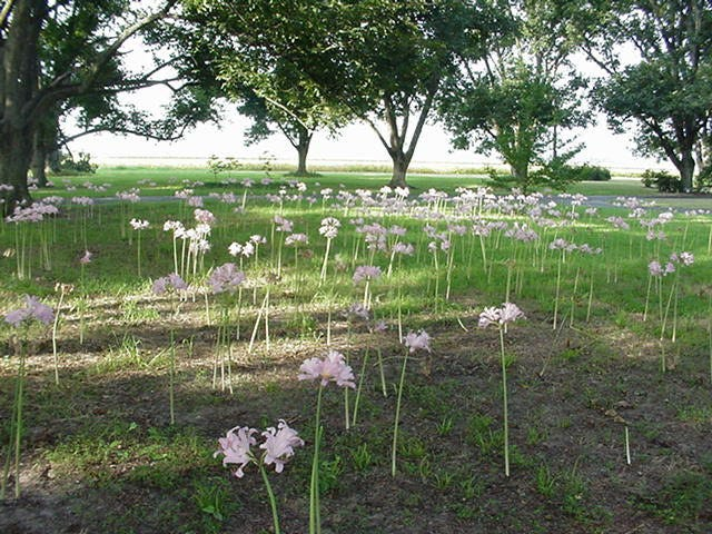 Permanent bulb plantings such as this Lycoris squamigera need little tending, and are best for the colder areas of Texas.