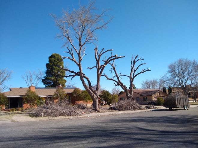 """This photo submitted by the City of St. George shows a tree that was """"topped,"""" with limbs cut too far from the trunk and leaving the tree unlikely to survive. City officials say winter is a busy season for unlicensed tree pruners soliciting work for a discount, but the unqualified workers sometimes end up causing branches to fall or killing the tree."""