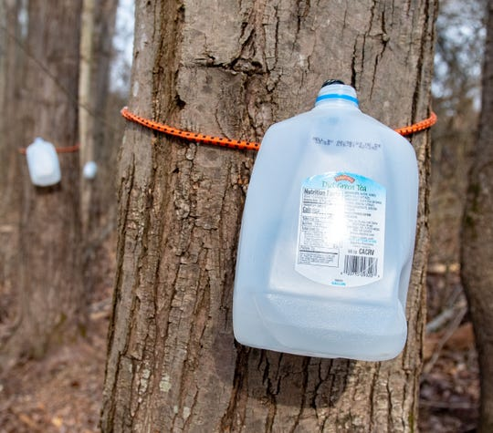 Throughout the trail tapped trees are filling up containers with sap as part of the syrup-making process during the York County Department of Parks and Recreation's Maple Sugar Festival Days event.