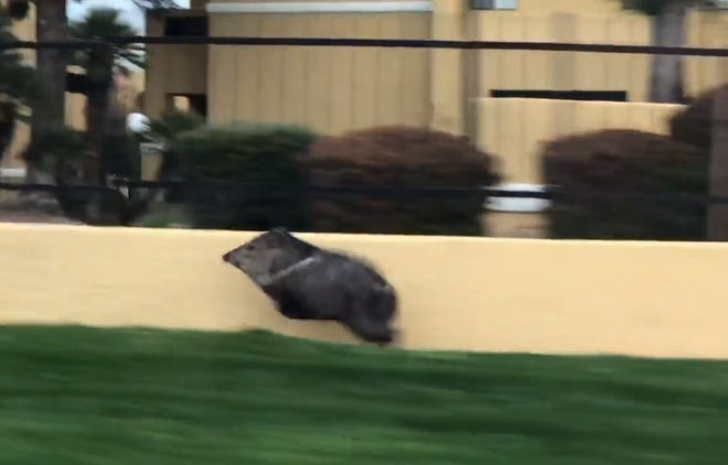 A video of a javelina running down a street in Tucson went viral.