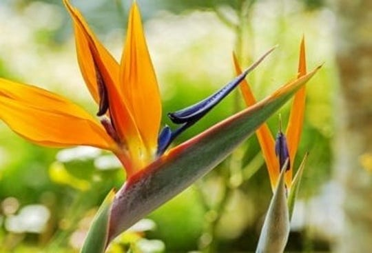 The Bird of Paradise Plant