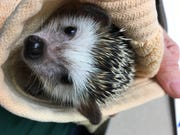Clover the hedgehog is back home at Bay Beach Wildlife Sanctuary after she was taken from her enclosure on Feb. 21.