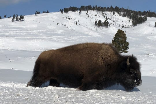 In this Monday, Feb. 17, 2020 photo, a bison walks through the snow in Yellowstone National Park's Lamar Valley near Mammoth Hot Springs, Wyo. The park's bison herds have begun their annual migration to lower elevations in Montana where they can be hunted and captured for slaughter. (AP Photo/Matthew Brown)