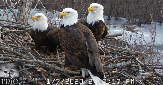 Valor II, from left, Valor I and Starr nest in the Upper Mississippi River National Wildlife and Fish Refuge near Lock and Dam 13 north of Fulton, Illinois, on Jan. 7, 2020.