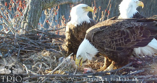 Three adult eagles that are engaged in cooperative nesting feed their three eaglets in a nest in the Upper Mississippi River National Wildlife and Fish Refuge on March 31, 2019.