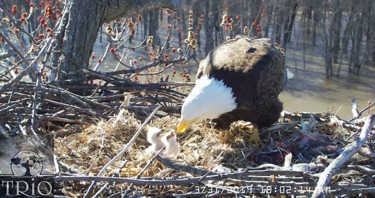 An eagle feeds its eaglets in a nest in the Upper Mississippi River National Wildlife and Fish Refuge on March 31, 2019.