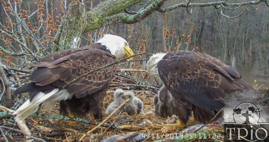 Two adult eagles feed their three eaglets in a nest in the Upper Mississippi River National Wildlife and Fish Refuge on April 11, 2019.