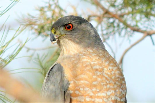 A Cooper's Hawk is one of the most striking predators in the area. The Lincoln County Bird Club has several events scheduled for March and May.