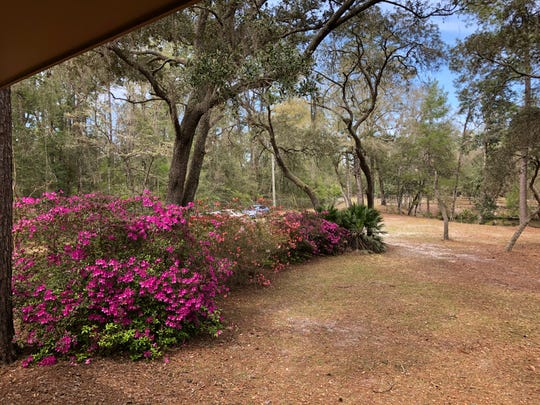 March is a good time to find azaleas and native Florida wildflowers blooming. Look for blue eyed grass, a native iris, and Atamosca or zephyr lilies in the open area near Natural Bridge Road.