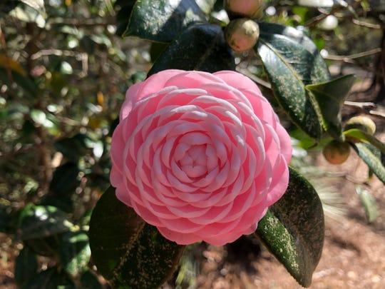 Camellia at Natural Bridge State Park.