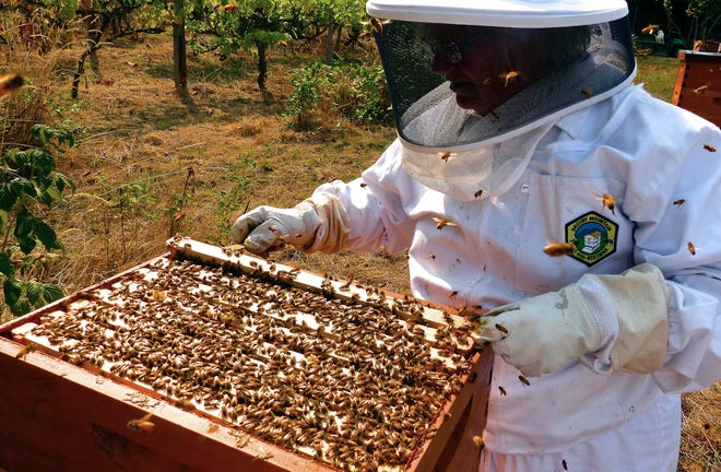This photo taken Aug. 2, 2015 in Langley, Wash., shows a beekeeper checking her honeybee hive boxes for production and ensuring that the queen is still healthy and laying eggs for the next generation of workers. The best defense against bee poisoning is to avoid spraying plants that are in bloom. If you must use pesticides, use those with a short half-life and low toxicity to bees and other beneficial insects. (Dean Fosdick via AP)
