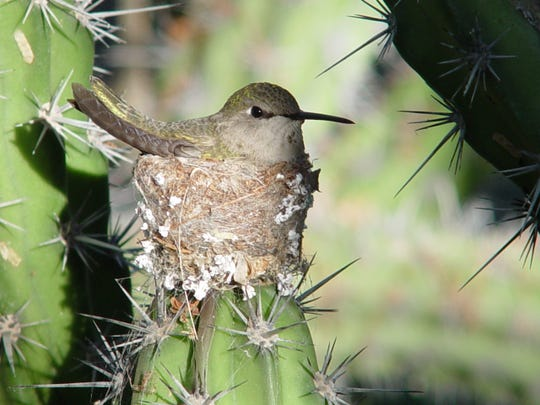 This hummer's nest is held together by lichens and sticky spider webs.