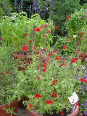 Hummingbirds cannot resist Autumn sage, Salvia greggi, the species, not the other colored hybrids.