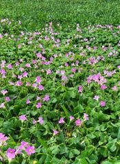 Pink wood sorrel is often found growing and blooming in Treasure Coast landscapes and lawns in the late winter and early spring. Is it a weed or a desirable flower? That determination is best made by the gardener.