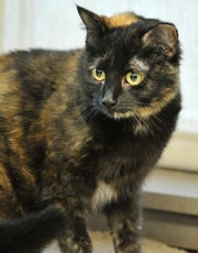 Say hello to Mabel! She is a Tortoiseshell domestic shorthair cat that wants to call your home hers. You can find Mabel and her furry-friends at the Wichita Falls Animal Services Center.