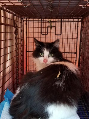 Trina is 1 of nearly 500 cats trapped, fixed & vaccinated by the Cats M.E.O.W. TNR program since January 2019. She had 3 kittens hidden in a tree trunk that were also rescued.